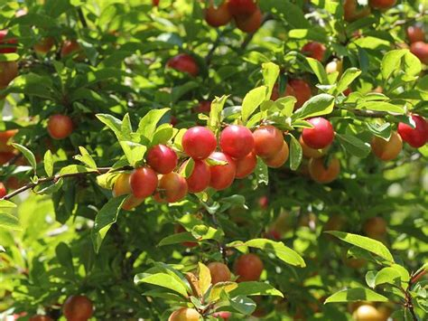 cherry plum prunus cerasifera images from roscadghill parc