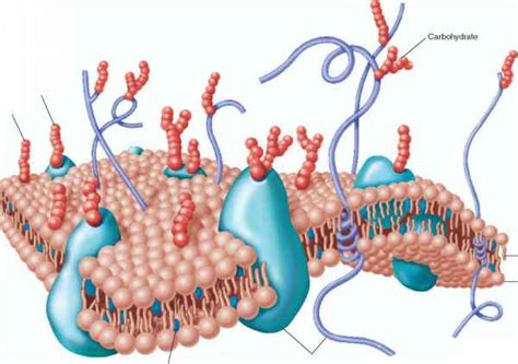 structure   plasma membrane human physiology