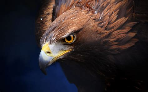 wallpaper iphone eagle golden eagle wallpaper background widescreen for