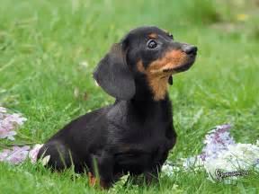 Dachshund Puppies Puppy Dogs Black Dachshund Puppies