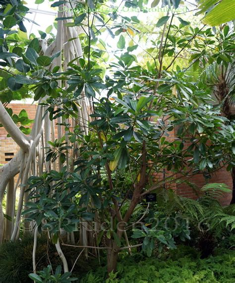 Matthaei Botanical Gardens Arbor Mi by Plantfiles Pictures Kopsia Ochrosia Elliptica By Palmbob