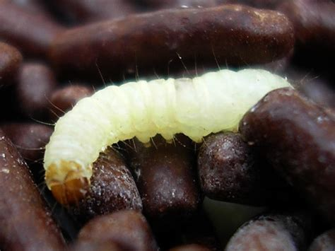Can Pantry Moths Eat Through Plastic by Things How To Never A Food Moth Problem