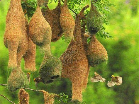 hanging nests fauna pinterest