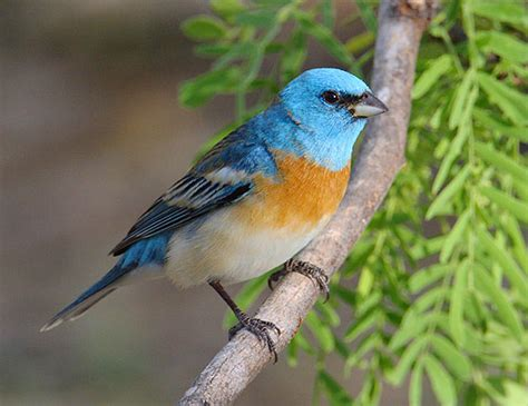 lazuli bunting passerina amoena planet of birds