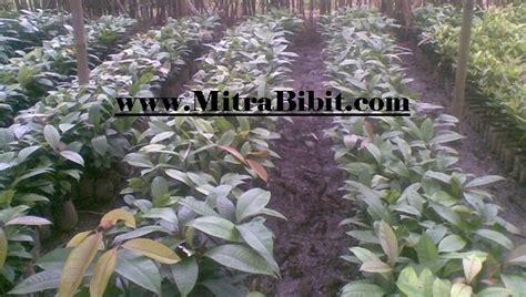 Cari Bibit Lada Perdu cv mitra bibit bibit manggis