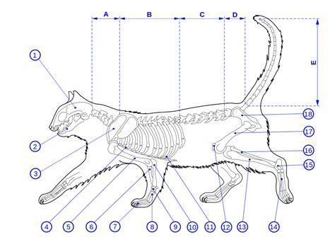 cat skeleton diagram original file svg file nominally 1 052 215 744 pixels