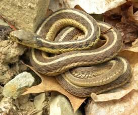 Garter Snake Naturalhistoryofnorthernindiana Garter Snake Carli