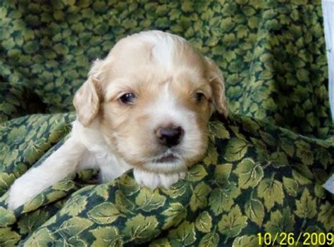 golden cocker retriever hypoallergenic dd cocker spaniels and golden retrievers cockapoo puppies available