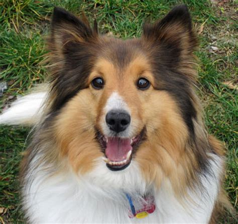 sheltie dogs more interesting details about the shetland sheepdog