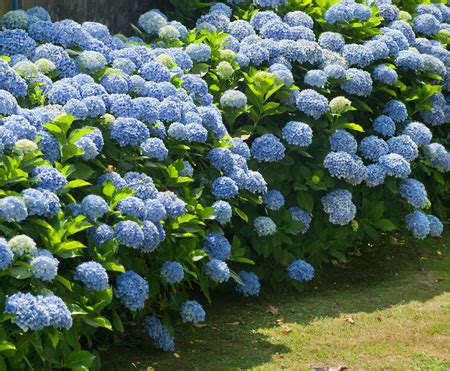 Hydrangea Macrophylla Endless Summer 4457 by Endless Summer Hydrangea For Sale Fast Growing Trees
