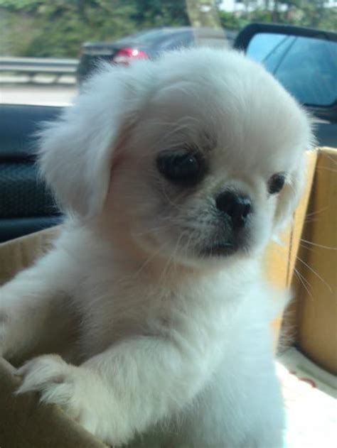 pictures of pekingese puppies puppies pictures