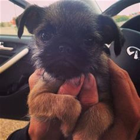 pug brussels griffon mix pug mix breeds on pugs bulldogs and terriers