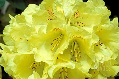 keh508 rhododendron goldkrone yellow flowers c asset