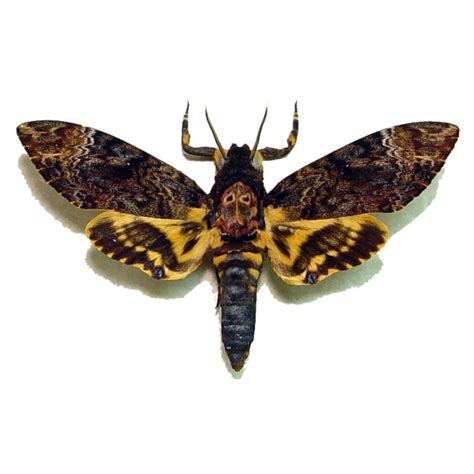 acherontia lachesis male death head moth silence of the