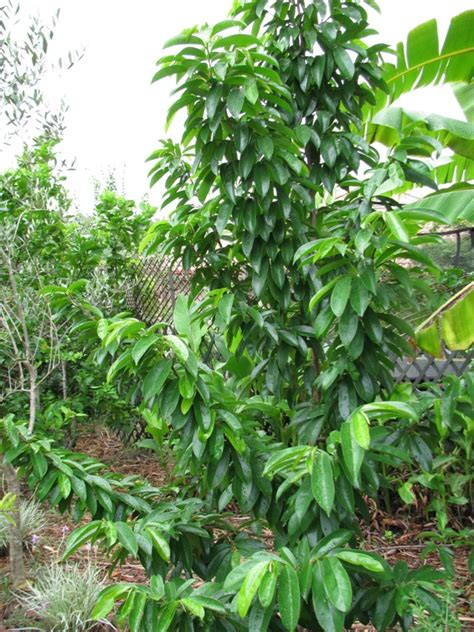 soursop fruit tree for sale grafted soursop kyogle fruit tree for sale annona muricata