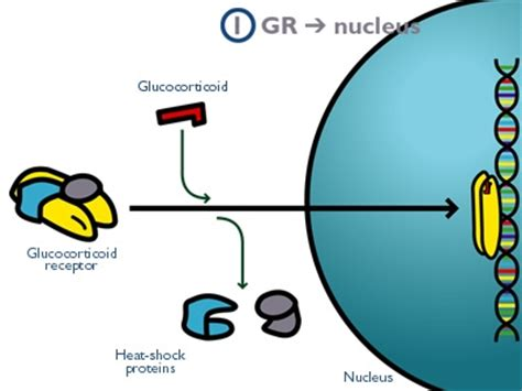 Glucocorticoids Also Search For Opinions On Glucocorticoid Receptor