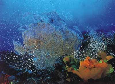 Kerang Triton taman nasional karimun jawa net