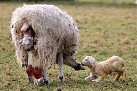 روش تشخیص فحلی در گوسفند و بز سایت رسمی آرش ساعدی