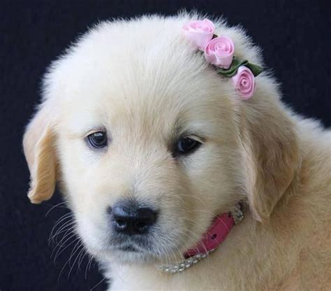 looking for golden retriever puppies golden retriever puppy with a pink bow in hair animals baby