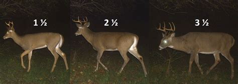 how to tell how a buck is buck nys dept of environmental conservation