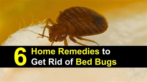 getting rid of bed bugs naturally how to get rid of bed bugs naturally at home bedding sets