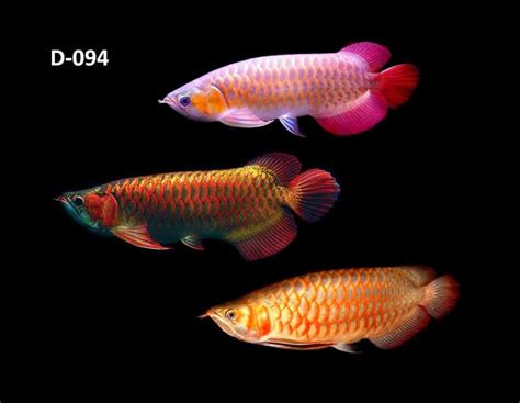 Arwana Golden 17 best images about arowana luohan on cichlids chili and aquarium fish