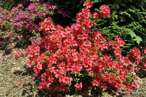 Flowering Evergreen Shrubs Full Sun - azalea mother s day kurume hybrid the site gardener
