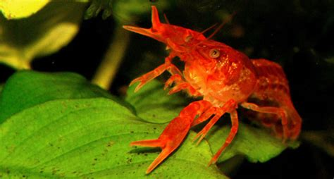 Olearys Nano by A Mexican Crayfish For Nano Aquariums