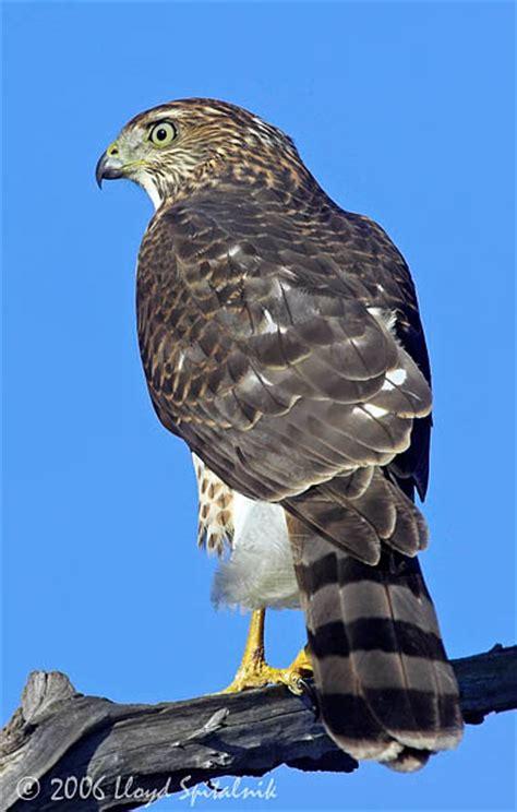 cooper s hawk a wild bird amazing facts the wildlife