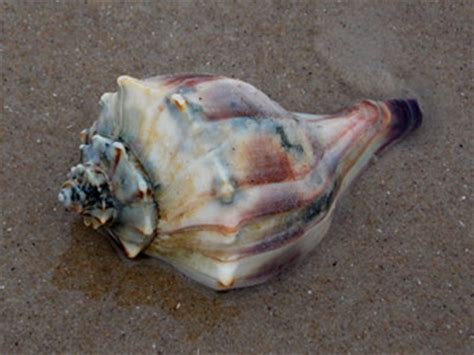 Knobbed Whelk Facts seashells and shell collecting nautical