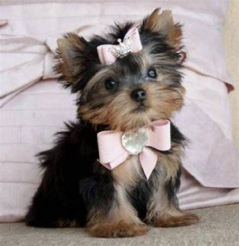 teacup yorkie hawaii 119 best images about teacup puppies on chihuahuas teacup maltese