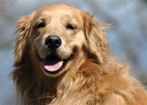 pet adoption golden retriever is your happy golden retriever rescue of southern maryland