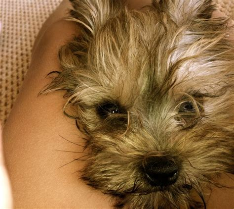 maltese yorkie mix grown the gallery for gt white morkie puppies