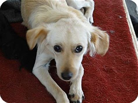 golden retriever whippet mix dorothy adopted puppy corona ca golden retriever whippet mix