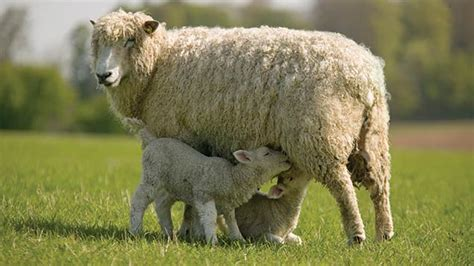 lambs and l don t use colostrum supplements as a replacement
