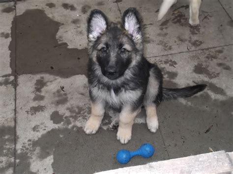 german shepherd puppies for sale german shepherd puppies for sale 5 weeks breeds picture