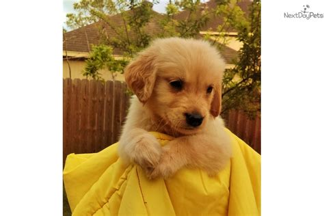 golden retriever puppies el paso tx golden retriever puppies houston tx dogs our friends photo