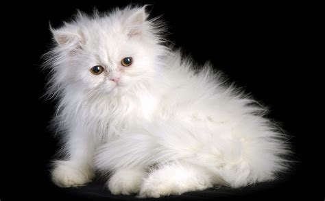 wallpaper persian cat 20 lovely and friendly persian cats images