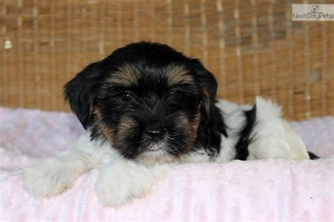 morkie puppies for sale near me morkie yorktese puppy for sale near lancaster pennsylvania 2acdcdfa 9d41