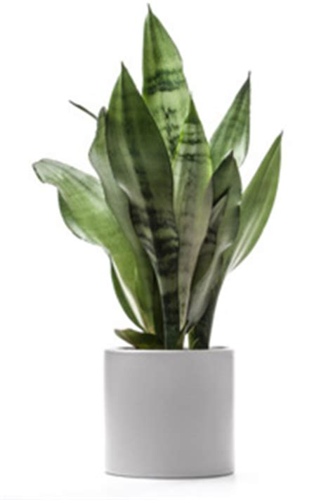 Tanaman Aphelandra Silver care for sansevieria houseplants house plants flowers