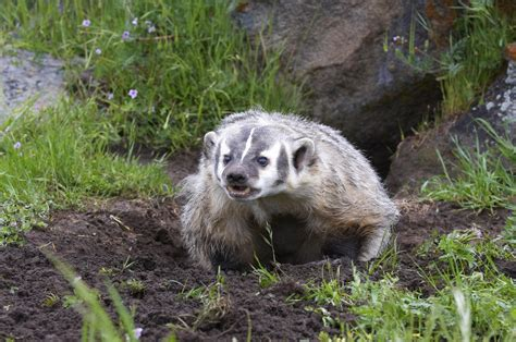kudamundi animal what are the sizes badger trapping removal service