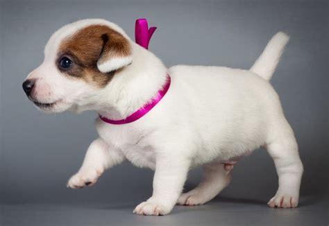 imagenes de perros jack rusell jack russell terrier caracteristicas