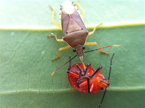 what eats bed bugs predatory stink bug from brazil what s that bug