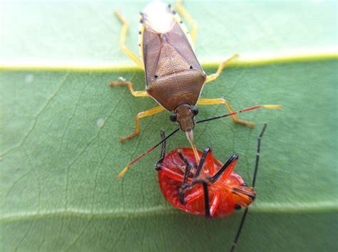 do spiders eat bed bugs do spiders eat bed bugs ladybugs eat bugs images