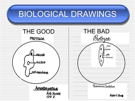 drawing biological diagrams membran p badegulv amazing immunoblots showing changes in