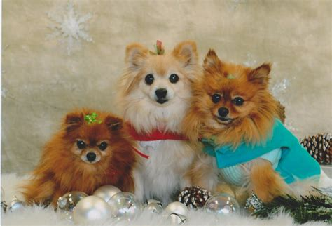 pomeranian fox cut different types of shih tzu cuts hairstylegalleries