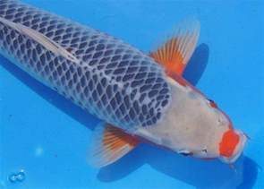 40 jenis dan gambar ikan koi yang paling populer di indonesia gizikita