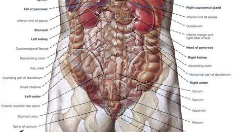 human anatomy organs diagram human anatomy organs applecool info