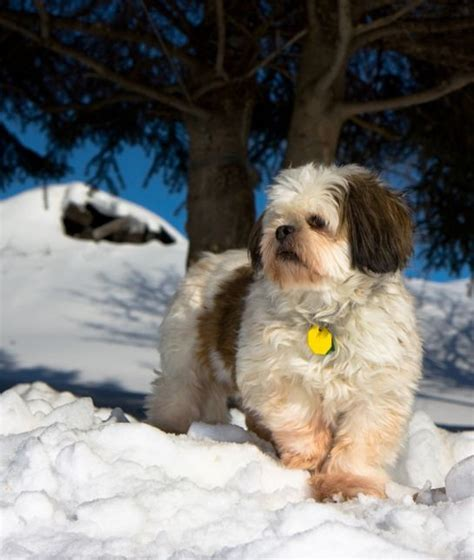 oldest living shih tzu 9 amazing facts about shitzu poodles the greenskin