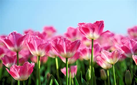 flowers bloom pink tulip flowers bloom in spring the blue sky background